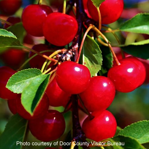 Door County Visitor's Bureau Cherries | upickfarmlocator.com