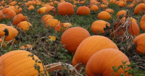 U-Pick Pumpkin Patch | upickfarmlocator.com