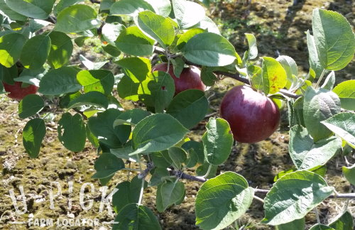 Macoun Apples U-Pick Apple Orchard Door County Wisconsin | upickfarmlocator.com
